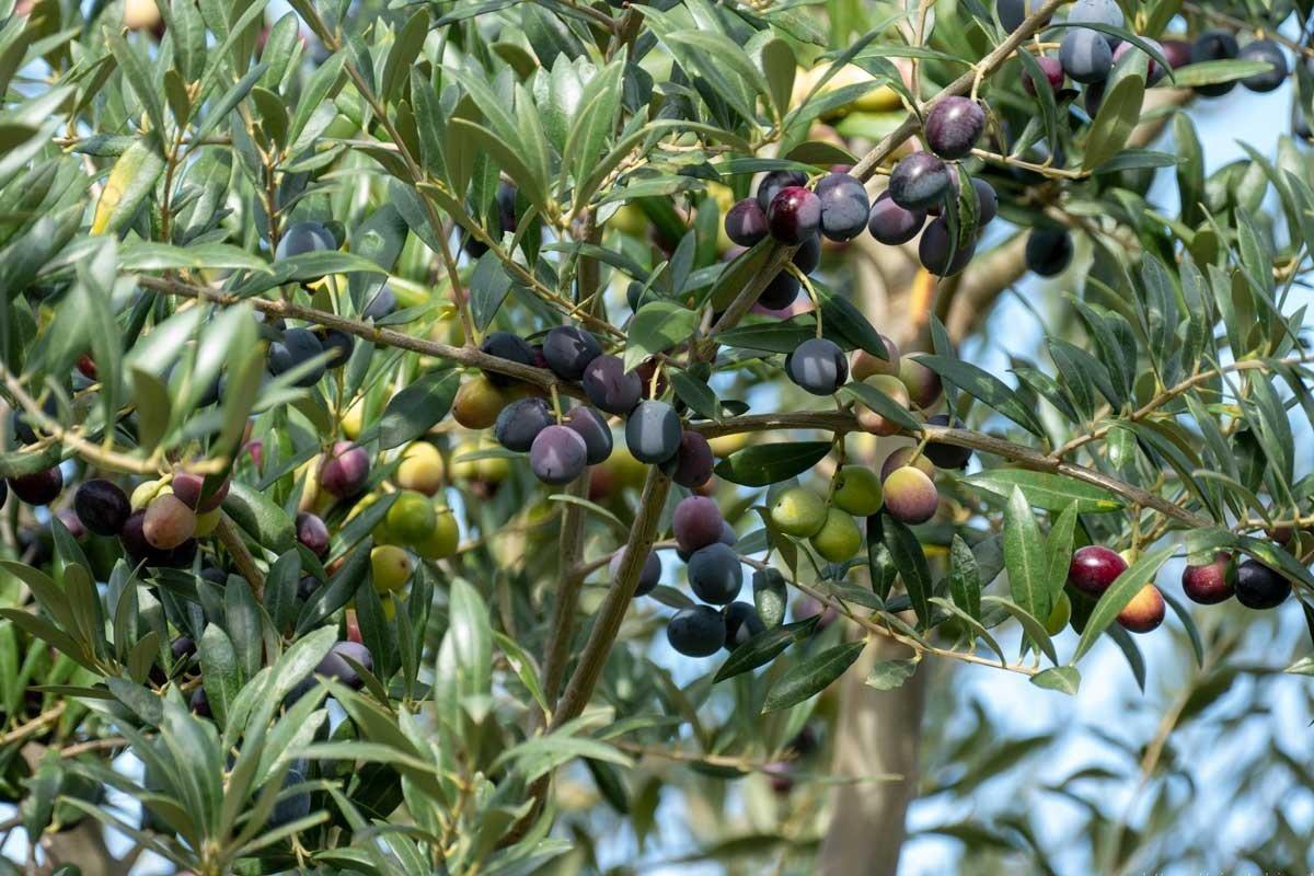 oliven_am_olivenbaum_arbequina