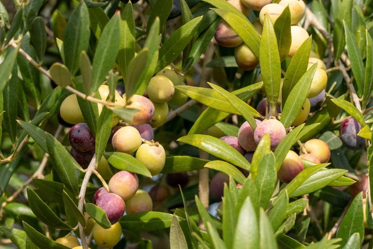 oliven_in_herbstfarben_am_olivenzweig