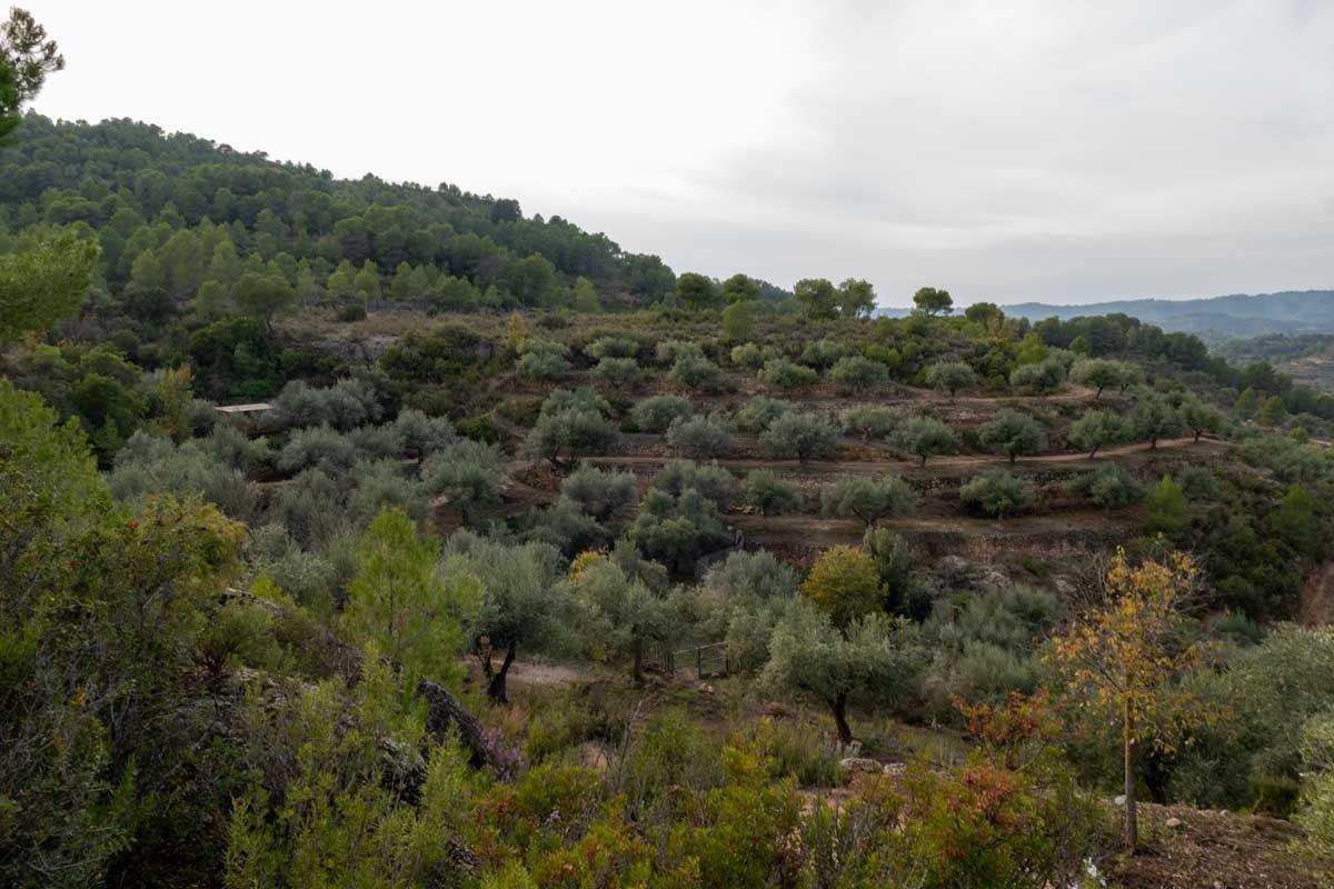 olivenhain_mit_terrassenanbau